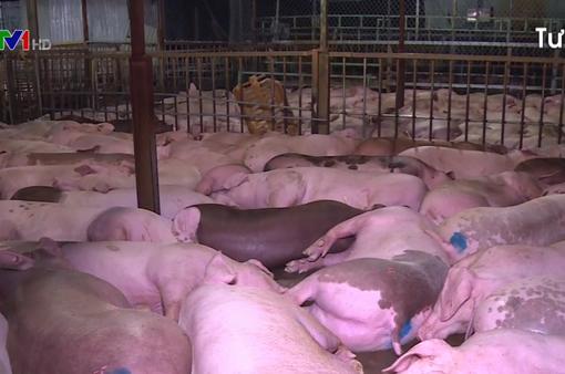 Sau nhiều ngày giảm, giá lợn có tín hiệu tăng