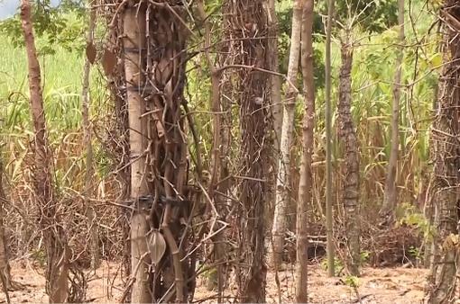 Đăk Lăk: Hồ tiêu chết hàng loạt, nhiều người lâm cảnh nợ nần