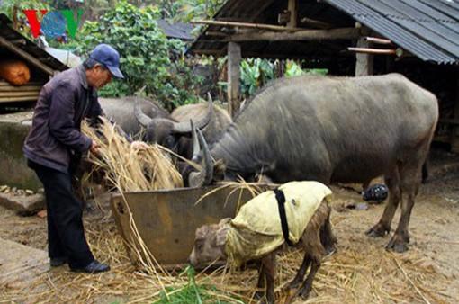 Lai Châu phòng chống rét cho gia súc