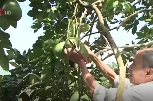Độc đáo nghề làm vườn Tiên Phước (Quảng Nam)