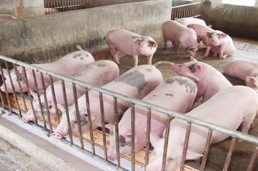 Giá lợn hơi miền Bắc cao nhất cả nước