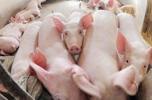 Trung Quốc mở cửa cho thị trường thịt lợn Việt Nam