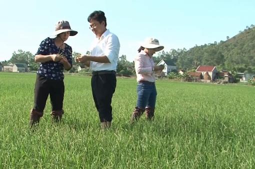 Nghệ An công bố dịch bệnh lùn sọc đen hại lúa