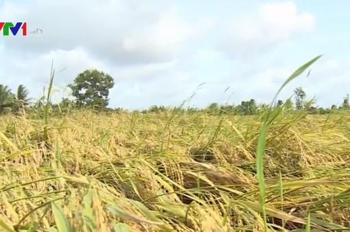 Hàng ngàn ha lúa bị đổ sau bão tại Trà Vinh