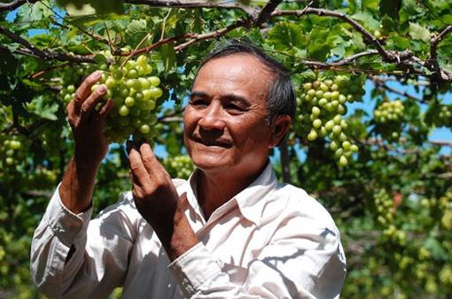 Giá nho Ninh Thuận tăng cao