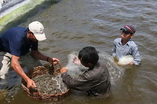 Khánh Hòa: Hiệu quả mô hình nuôi tôm công nghệ Biofloc