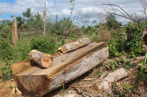 Nhức nhối tình trạng chặt phá rừng tự nhiên tại Lâm Đồng