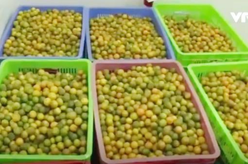 Nam Định: Phát triển vùng quất dược liệu an toàn