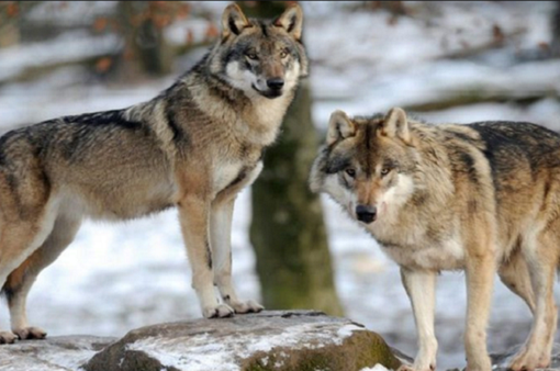 Sau gần 90 năm, sói xuất hiện trở lại tại vùng Đông Nam nước Pháp