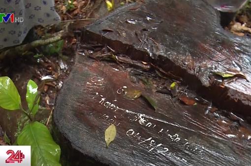 Thông đỏ đặc biệt quý hiếm ở Lâm Đồng bị cưa trộm