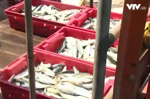 TT-Huế: Cơ sở đông lạnh nâng cao năng lực thu mua hải sản