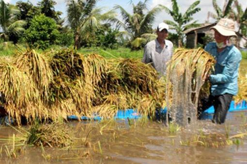 Mưa kéo dài uy hiếp hàng nghìn ha lúa Hè Thu