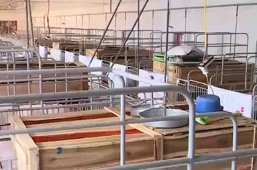 Doanh nghiệp công bố danh sách giải cứu lợn không đúng thực tế