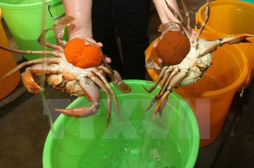Trà Vinh tăng mạnh diện tích nuôi cua biển