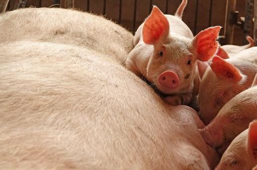 Dịch tả lợn tại châu Âu: Pháp dựng hàng rào điện với biên giới Bỉ