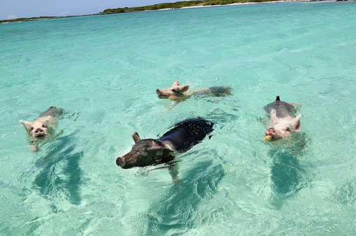 Hòn đảo dành cho những chú lợn bơi lội thỏa thích