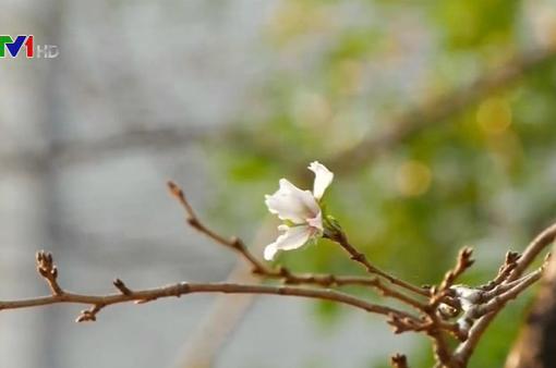 Hoa anh đào nở sớm bất thường tại Nhật Bản