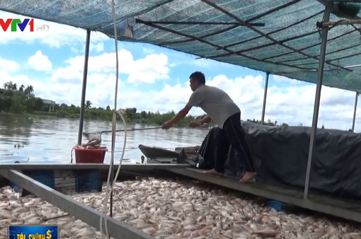 Hơn 160 tấn cá bè chết bất thường ở Tiền Giang