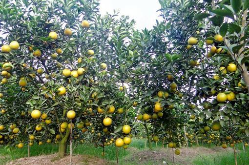Thu về gần 5 tỷ đồng tiền lãi mỗi năm từ cam, quýt sạch