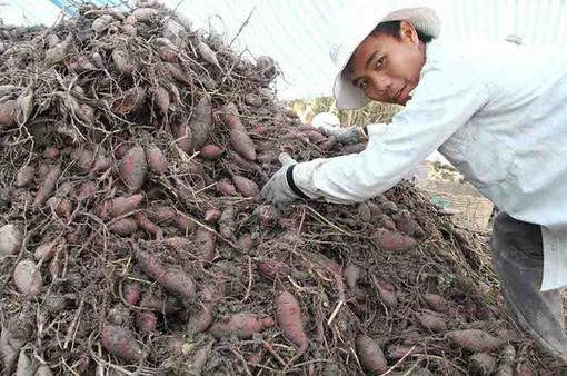 Khoai lang cần được xuất khẩu chính ngạch