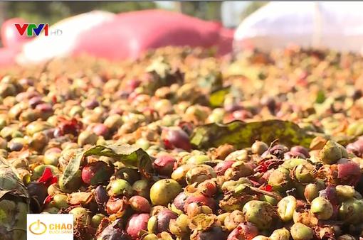 Người trồng thấp thỏm vì giá cà phê liên tục đảo chiều