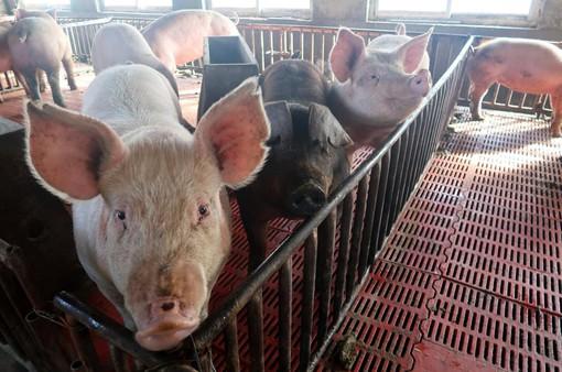 Dịch tả lợn châu Phi lan rộng tại Trung Quốc
