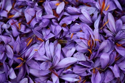 """""""Thần dược"""" sắc đẹp nhụy nghệ tây và phép màu cho kinh tế Hy Lạp"""