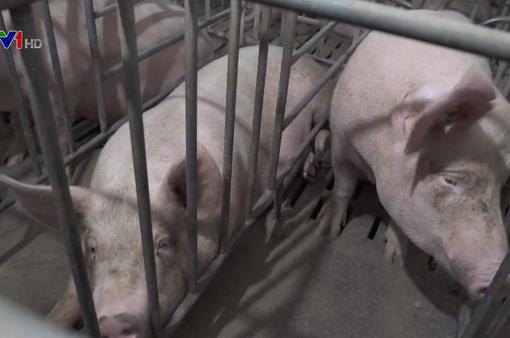 Thông tin thịt lợn nhiễm sán gạo tại Lào Cai là không chính xác