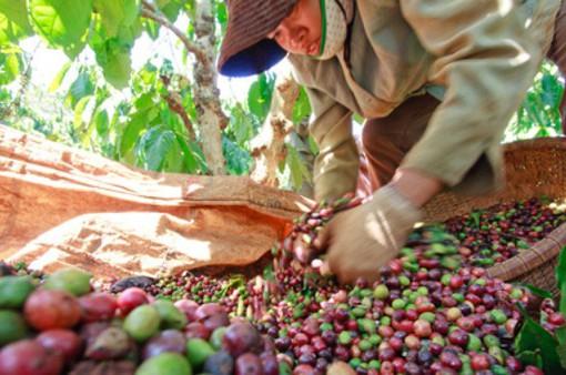 Những vấn đề tồn tại của cà phê Việt Nam