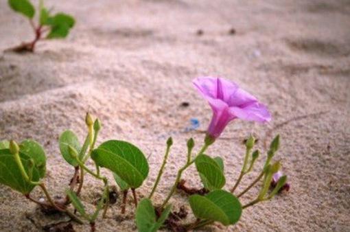 Xao xuyến hoa muống biển nhuộm tím bờ biển, đường đi