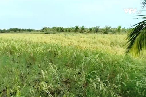 Bến Tre:  Xôn xao việc thương lái mua lúa non