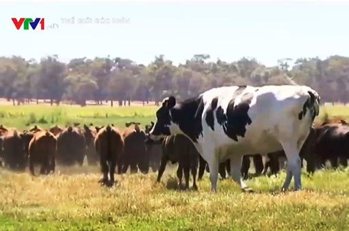 Australia: Chú bò may mắn thoát chết nhờ to quá khổ