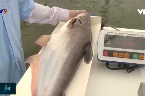 Sản xuất cá giống chất lượng cao: Giải pháp nâng tầm cá tra Việt