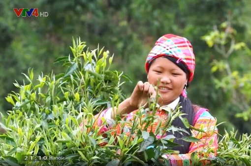 Làm thế nào để phát triển bền vững ngành chè Việt Nam?
