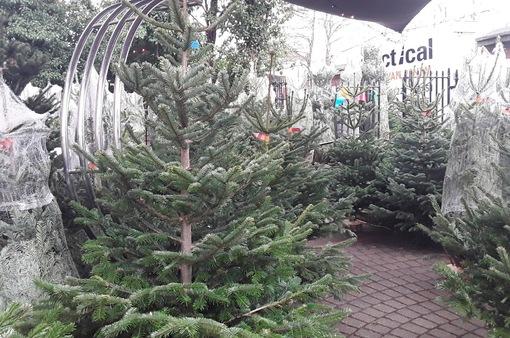 Thiếu hụt nguồn cung cây thông Noel ở Mỹ