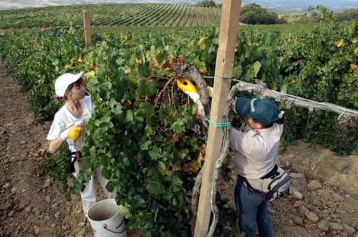 Thanh niên Italy lũ lượt về quê... trồng cấy