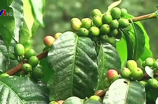 Dự báo sản lượng cà phê Colombia giảm