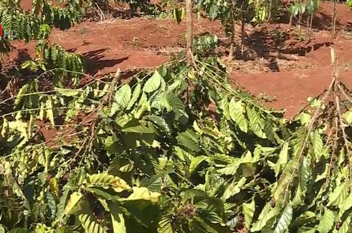 Xót xa hàng trăm cây cà phê bị kẻ xấu chặt phá