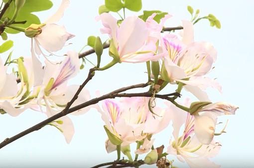 Điện Biên quyến rũ trong sắc hoa ban