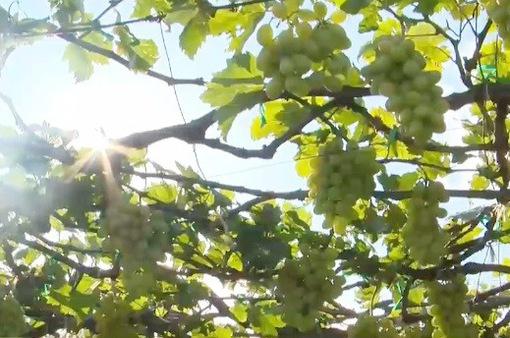Du lịch vườn nho Ninh Thuận giữa mùa nắng