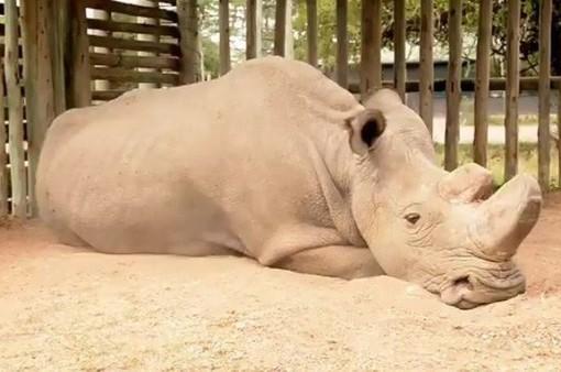 Chú tê giác trắng phương Bắc đực cuối cùng trên thế giới qua đời