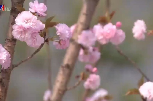 Khai mạc Lễ hội hoa Anh đào - Mai vàng Yên tử 2018