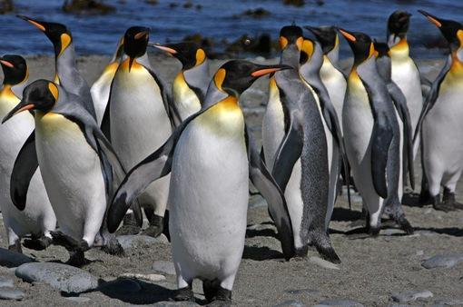 Tình yêu của chim cánh cụt qua những thước phim nhanh