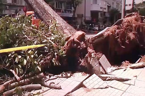 Cảnh báo ngã đổ cây xanh đầu mùa mưa tại TP.HCM
