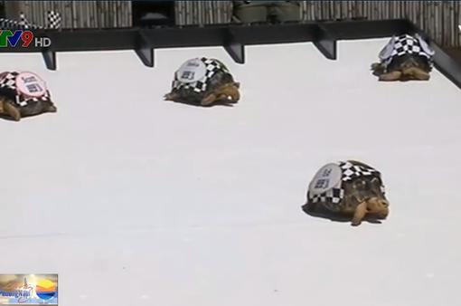 Thú vị cuộc đua dành cho những chú rùa