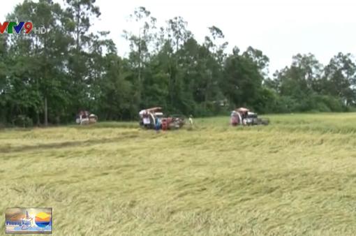 Kiên Giang: Lợi dụng mưa lớn, hạ giá thu mua lúa