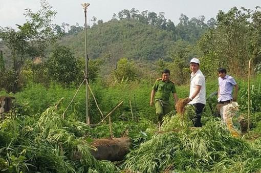 Đắk Nông phát hiện rẫy trồng hơn 1.000 cây cần sa