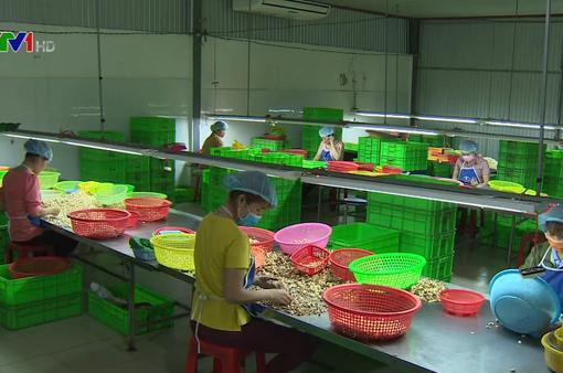 Hàng trăm nhà máy chế biến điều đóng cửa vì thiếu nguyên liệu