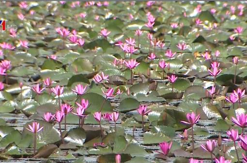 Bông súng tím - Loài hoa giúp thoát nghèo