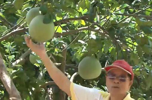 Kinh nghiệm trồng bưởi hữu cơ của Thái Lan